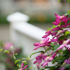 A flowering vine winds its way through a picket fence at Gorham's Bluff
