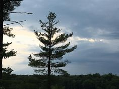 Another sunset shot of the Majestic White Pine Tree at Sunset #growfromseed #sheffieldsseed #treestalk