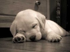 Mind Blowing Facts About Labrador Retrievers And Ideas. Amazing Facts About Labrador Retrievers And Ideas. Cute Puppies, Cute Dogs, Dogs And Puppies, Doggies, White Lab Puppies, Cute Baby Animals, Funny Animals, Farm Animals, Sleeping Puppies