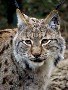Eurasian Lynx Lynx Lynx With Cubs Muenster Germany Wallpapers) – Free Wallpapers Eurasian Lynx, Lynx Lynx, Cat Bobcat, Hd Desktop, Fauna, Big Cats, Online Art Gallery, Cubs, Worlds Largest