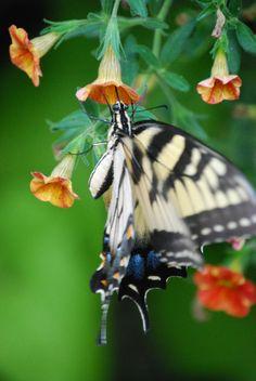 Swallowtail Butterfly on Million Bells Petunia