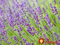 Jedna z najpopulárnejších rastlín súčasnosti – levanduľa. Krásna okrasa záhrad, ale aj veľká pomocníčka v domácnosti a pre naše zdravie. Ak však nemáte záhradu, v ktorej by ste ju pestovali, nemusíte zúfať, existuje jednoduchý spôsob, ako ju pestovať na terase, balkóne, alebo jednoducho na parapete u vás doma.