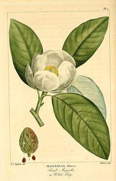 Small Magnolia White Bay