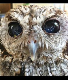 Zeus, the blind screetch owl who has galaxies in his eyes ♥