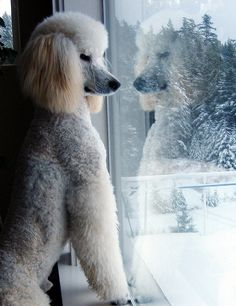 Adorable standard white poodle named Gunther.