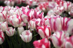 Tulips - Madeleine Baud