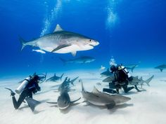 10 Best Places to Swim With Sharks If swimming with sharks is on your travel bucket list, these spots are officially recommended by PADI, the Professional Association of Diving Instructors. Shark Diving, Scuba Diving Gear, Cave Diving, Sharks, Cancun Diving, Snorkeling Maui, Khao Lak, Maui Vacation, Megalodon