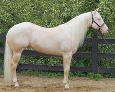 Sparks Sun Whizard, cremello stallion with Shining Spark and Hollywood Jac 86 bloodlines