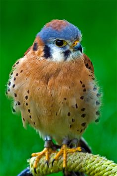 Kestrel - ©Matthew Hicks - www.matthicksphoto.com/index.php?album=nature/wildlife&image=spotted-owl-.jpg