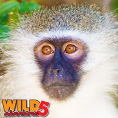 The incredible Vervet Monkeys are our locals at Wild 5 Adventures. These little guys are loved by both residents and tourists alike… All About Animals, Animals Of The World, Animals Beginning With V, Vampire Bat, Letter V, East Africa, Animals Beautiful, Habitats, Woodland