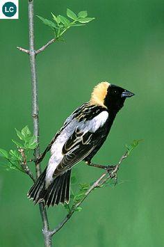 "https://www.facebook.com/WonderBirdSpecies/ Bobolink (male)(Dolichonyx oryzivorus); Summer in North America, wintering in southern South America; IUCN Red List of Threatened Species 3.1 : Least Concern (LC)(Loài ít quan tâm) <("") Hoét tân thế giới Bobolink (trống); Mùa hè làm tổ và sinh sản ở Bắc Mỹ, mùa đông di trú đến miền nam của Nam Mỹ; HỌ HOÉT TÂN THẾ GIỚI - ICTERIDAE (New World blackbirds, New World orioles, Bobolinks, Meadowlarks, Grackles, Cowbirds, Oropendolas and Caciques.)."