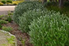 Coastal rosemary is a grey-green hardy native which is also very easy to prune (Westringia fruticosa)