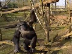 chimpanzee vs. drone