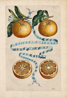 Giovanni Battista Ferrari, illustrazioni agrumi - citrus fruits illustrations