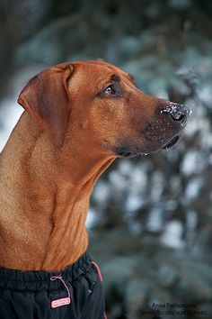 Ridgeback  // by ania.neko, via Flickr