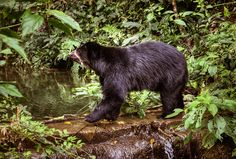 Spectacled Bear | Bear Legend