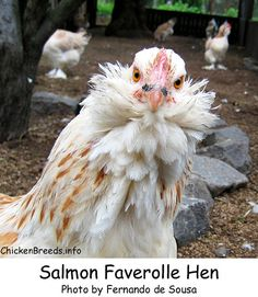 Salmon Faverolle - adorable! & great winter layers of a medium cream colored egg