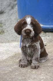 Italian Spinone, hoping to find one...