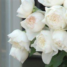 """""""本日の薔薇""""  ^^ しずく[ Shizuku]  日本 Rose Farm keiji 作 2010年  人気のF&Gローズ「みさき」の枝変わり。花びらの先をきゅっと摘んだような、斬新なディープカップ咲き、1輪切って飾るだけでエレガントな印象を醸します。美しさ枝垂れるよう広がり、たおやかに咲きほこります。花はオフホワイト、のちに清楚な純白色になります。芳香は「みさき」とは異なり、上品な香りが鼻をくすぐります。コンテナ植えにも最適です。「みさき」ちゃんと一緒に育ててみませんか?  花径:7cm 樹高:0.6~0.7m 花季:四季咲 その他:香⇒香りのよいバラです   ❁~❁~❁ 12月~2月は バラの""""秋大苗""""の定植適期です ❁~❁~❁  オールドローズから人気のモダンローズ、F&Gローズまで「日本のバラのパイオニア京阪園芸」の特選秋大苗が、こちらサイトでお買い求め頂けます! ⇒ http://www.keihan-engei-gardeners.com/fs/keihangn/c/akinae"""
