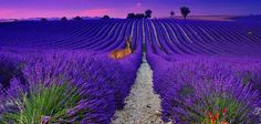at Valensole - Haute Provence - France .. imagine the smell ..