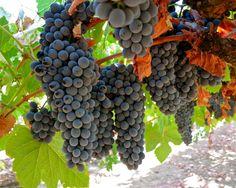 Touriga Nacional, Silvaspoons Vineyards, Lodi AVA. Photography by Randy Caparoso.