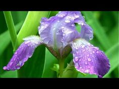 With their sword like leaves and showy flowers, Bearded Iris are an eye-catching addition to any garden. Iris Flower Pictures, Blue Iris Flowers, Bearded Iris, Photo Tree, Planting Flowers, Flowering Plants, Bing Images, Delicate, View Source