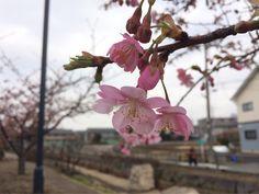 寒桜が咲き始めた。