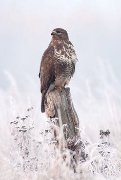 The Common Buzzard - Buteo buteo, is a medium to large bird of prey, whose range covers most of Europe and extends into Asia.