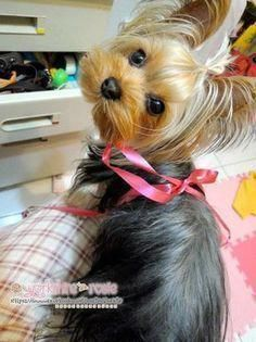 Everything we all like about the Tenacious Yorkie Pup #yorkshireterrierswag #yorkshireterriersverige #yorkshireterriertraining Yorkshire Terrier Haircut, Yorkshire Terrier Puppies, Yorkies, Cute Puppies, Cute Dogs, Yorkie Haircuts, Yorshire Terrier, Top Dog Breeds, Positive Dog Training
