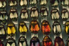 Golden beetles, Plusiotis optima, National Institute of Biodiversity, San Jose, Costa Rica