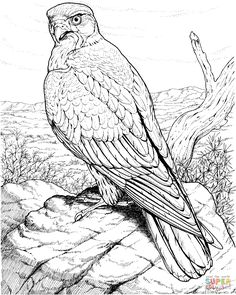 Hawks coloring pages   Free Coloring Pages   Birds of Prey ...