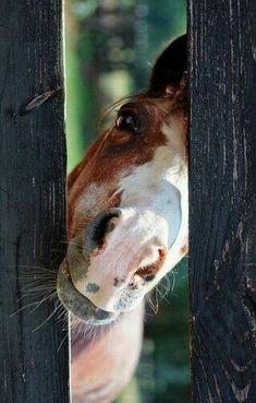 Hi! Horse peeking through the fence.