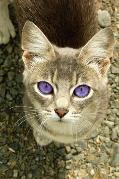 grey cat with big purple eyes