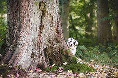 Australian shepherd. Dog photography. Belgium