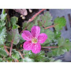 Erodium variabile 'Bishop's Form'. Reigersbek, roze bloeiend. S Form, The Outsiders