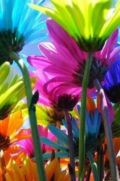 Rainbow daisies....                                                                                                                                                                                 More