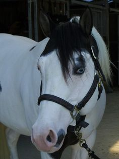 American Paint Horse Stallion Straits Painted Flash. He is my dream paint so beautiful