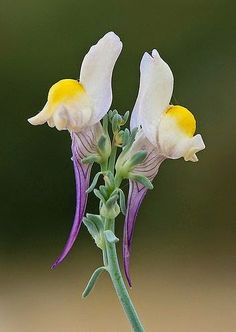 """""""Linaria polygalifolia."""" Google search: """"Linaria is a genus of 150 species of herbaceous annuals and perennials and the largest genus in the Antirrhineae tribe of the plantain family Plantaginaceae. Wikipedia."""" (Pinned both to Nature - P&F-Flowers-*Odd Non-Orchid Flowers... & Nature - P&F-Flowers, N.O.C....)"""
