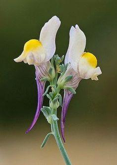 Linaria polygalifolia