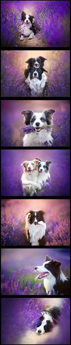 Lavender Garden With Dogs -->>  via: Alicja Zmysłowska - boredpanda.com