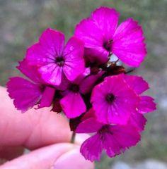 Alpine flowers in Switzerland    Nat Geo photo