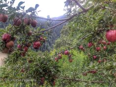 It's apple-picking season !    Roses are red, Violets are blue, I really love apples and the same goes for you. ...amore mio !  Bresimo, Val Di Non, Trentino Alto-Adige, Italy