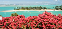 Images of our Pohutukawa tree at Christmas time in Nelson Long White Cloud, New Zealand Houses, The Beautiful Country, Perfect Timing, South Island, Red Flowers, Cheer, Coastal, The Past