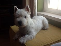 Westie Alby with 6 months