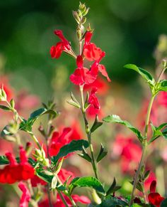 Salvia x greggii 'Red Velvet' | Red Velvet Hybrid Autumn Sage | Civano Growers