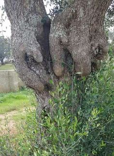 Isn't this an amazing natural formation? Mother Nature is so remarkable. Weird Trees, Tree Faces, Tree People, Unique Trees, Tree Carving, Old Trees, Nature Tree, Tree Art, Amazing Nature