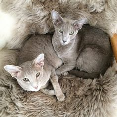 Esteri & Frida, oriental shorthair cats