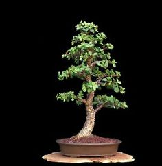 BONSAI TREE RARE INDOOR OR OUTDOOR 'CORK BARK' JADE in OLD PRE-YAMAAKI POT $398.95