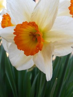 Narcissus by Snezana Petrovic- these just bloomed in my yard too- two days ago, in north east Massachusetts.