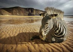 Wall mural ZEBRA ON THE BEACH photo wallpaper WILD AFRICA wall decoration | eBay